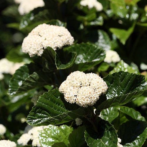 Amazing All That Glitters Viburnum Shrub Lustrous Glossy Leaves Proven Winners