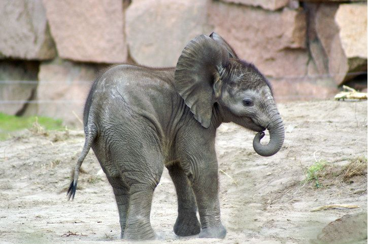 Sometimes baby elephants suck their trunks the same way baby humans suck their thumbs