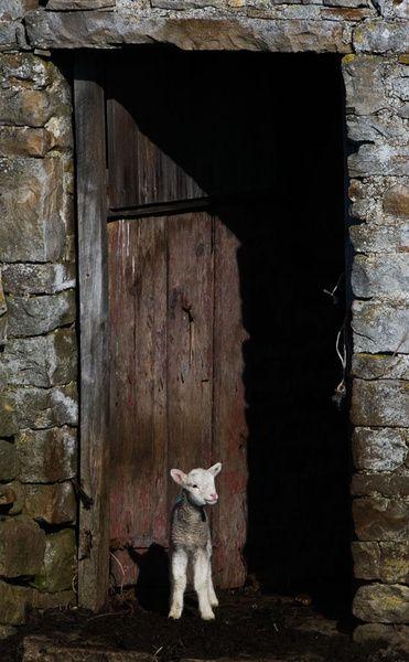 Stone barn and lamb, Swaledale - Swaledale Yorkshire England
