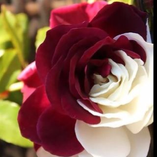 different -  half and half: Red And White, Rose Gardens, Favorite Flowers, White Rose, Colors Rose, Roses, Plants, Beautiful Flowers, Beautiful Rose
