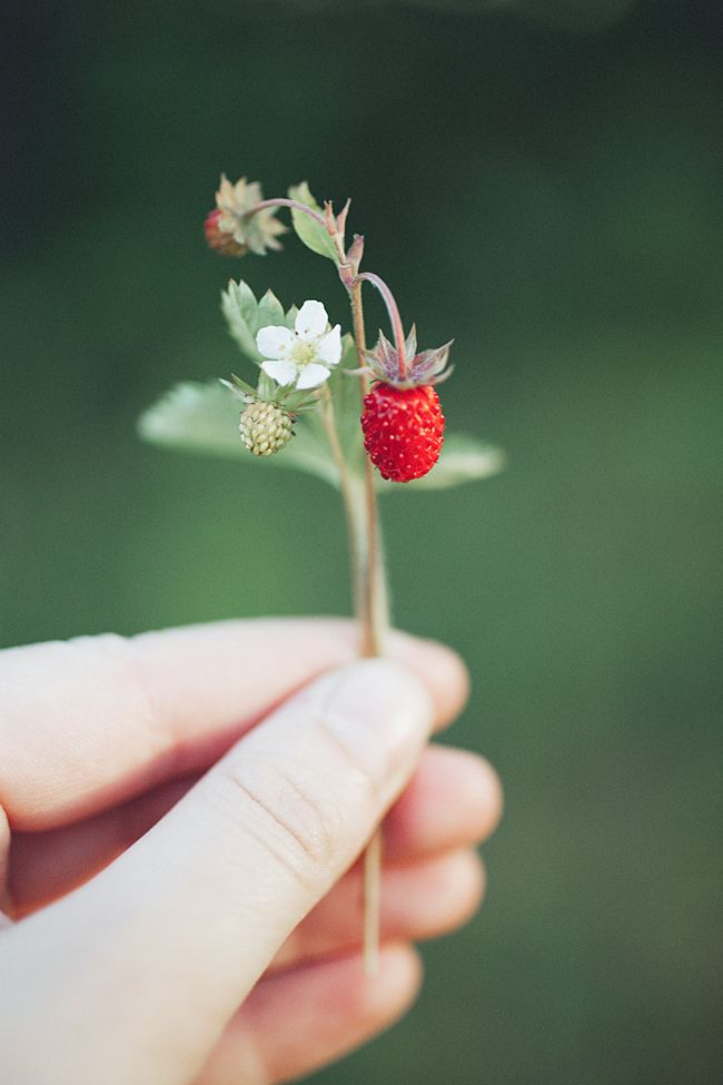 OMG!!! Wild strawberries!! They are lil, but their taste is HUGE!!! Thd worse the ground, the better the berry!! <3