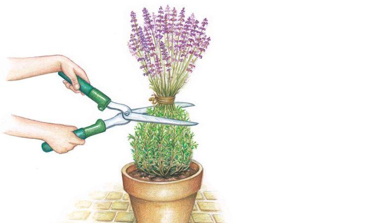 Schwachwüchsige Lavendel-Sorten wie 'Peter Pan' gedeihen auch im Topf. Ein regelmäßiger Rückschnitt hält die Pflanzen in Form. Der richtige Zeitpunkt ist unmittelbar nach der Blüte. Erleichtern Sie sich die Arbeit, indem Sie den oberen Teil der Pflanze zusammenbinden und schließlich gut ein Drittel des Laubes samt der verblühten Stielen herunterschneiden