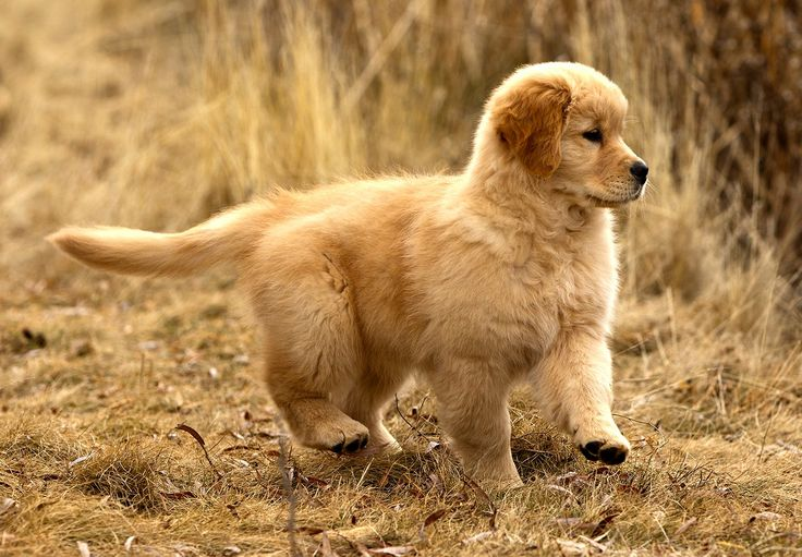 Am GCH Tamarack Love Shack RE Golden Retriever