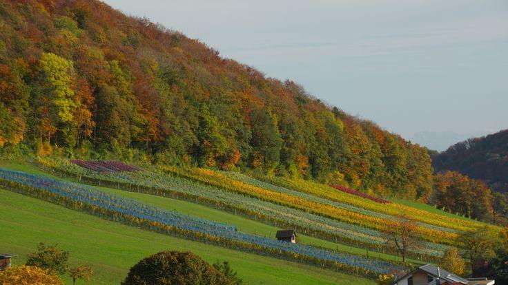 Rebberg Burghalde in Mönthal in Herbstfarben by beckmarketing.ch