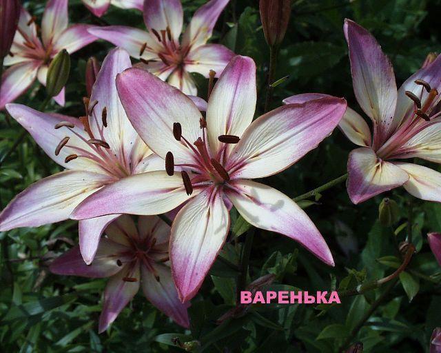 В полушаровидном невысоком соцветии 10-15 звездообразных цветков, направленных в стороны и вверх под углом. Окраска двухцветная: сиренево-розовые концы и кремовое основание лепестка, по которому разбросаны мелкие многочисленные пятнышки. Диаметр цветка 10-11см. Высота растений 85-90 см. Бульбоносность умеренная