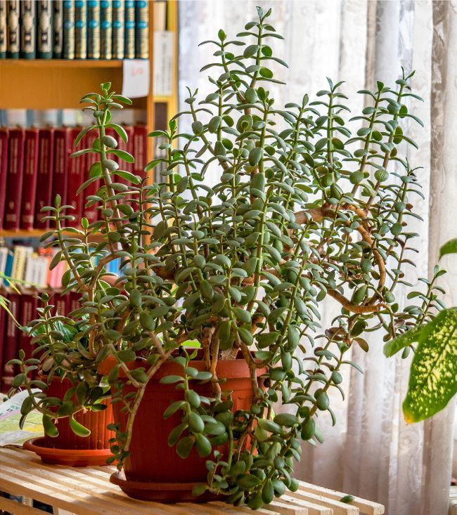Why Is My Jade Plant Drooping Causes And Solutions Smart Garden Guide Jade Plants Garden Guide Smart Garden