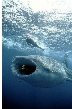 Nadar con tiburones ballena en Quintana Roo, Mexico