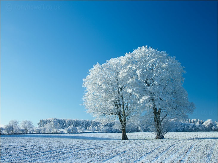 Maple Trees, Frost & Snow Mendip Hills, Somerset, England