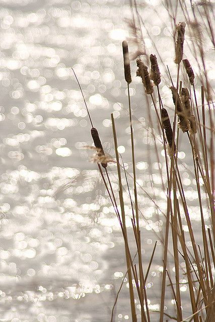 how to grow cattails in a pond
