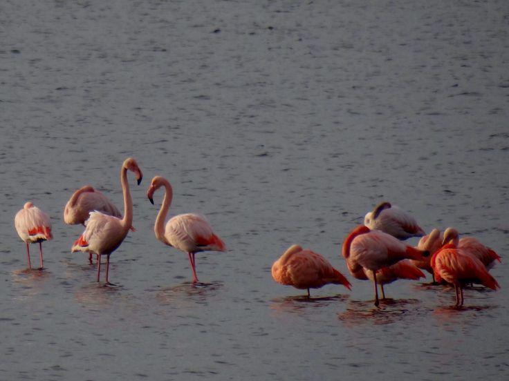 Flamingo's Battenoord, Nieuwe Tonge.