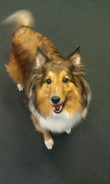 Claims adjuster Debbi has an enthusiastic helper in her Shetland Sheepdog, Buddy.