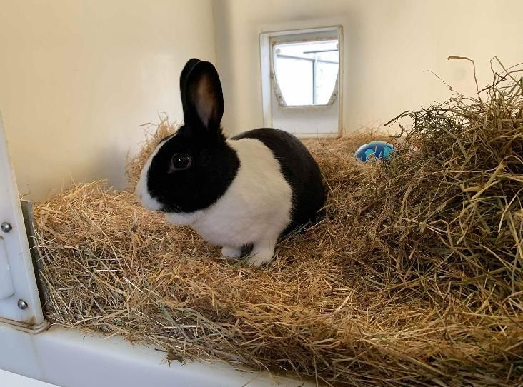Bugsy Find A Pet Rspca Org Uk Female Rabbit Dutch Rabbit Pets