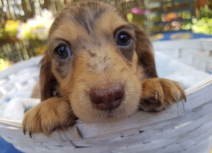 Long Haired Dapple Miniature Sausage Dog Puppy Dachshund