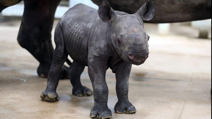 RINO BEBE. Un recién nacido rinoceronte negro oriental aún sin nombre camina alrededor de su madre, Ayana, el lunes 17 de octubre de 2016, en el Blank Park Zoo en Des Moines, Iowa. La madre rinoceronte negro -especie en peligro de extinción- dio a...