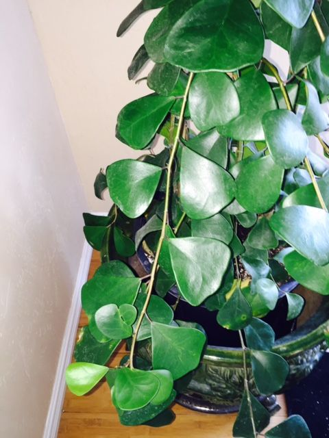Triangle Ficus #houseplants Have Unique Dark Green Triangular Leaves.  Http://www