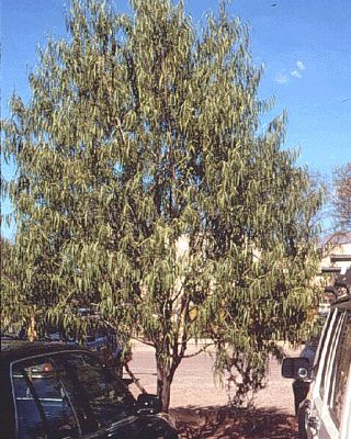 Geijera parviflora-Australian Willow Rutaceae Family