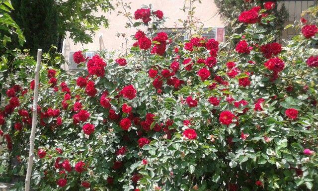 Kırmızı sarmaşık güller