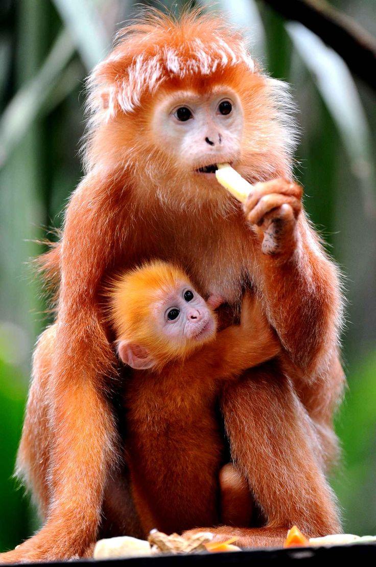 Petit câlin entre un bébé langur de Java et sa maman au zoo de Singapour.