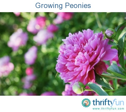 Some Tips On Growing Peonies. These Hardy Perennials Come In A Variety Of  Colors And