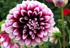 Dahlia Flower Bulbs for Sale Online | Huge Selection of Dahlia Bulbs