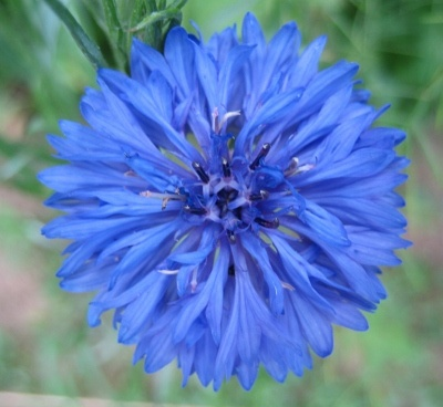 Image of Blue Cornflower: Valley Seeds, Seeds Libraries, Beautiful Flowers, Cornflower Pale, Cut Gardens, Cornflower Seeds, Cut Flowers, Blue Cornflower, Flowers Seeds
