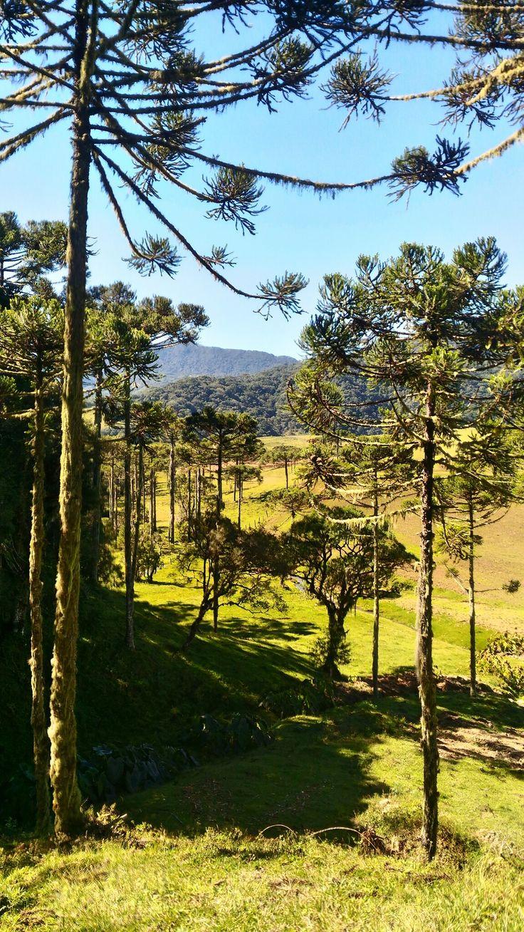 #natureza #nature #araucárias #santacatarina