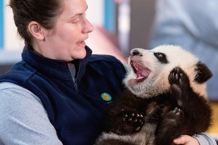 Just look at Bei Bei now. | Bei Bei The Giant Panda Cub Couldn't Be Bothered At His First Press Conference - BuzzFeed News