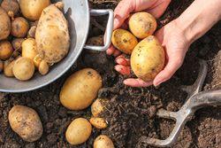Kartoffeln lagern – 5 Tipps für die richtige Aufbewahrung