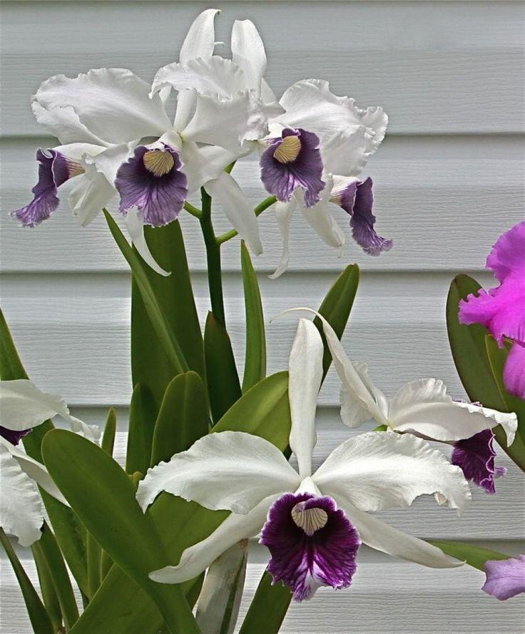 Orquídeas: siempre han estado asociadas a la elegancia, la exclusividad, el lujo y, sobre todo…, a la belleza. Se encuentran entre las flores ornamentales más importantes del mundo, su cultivo y comercialización mueve millones de dólares en todo el planeta. ¡No es para menos!