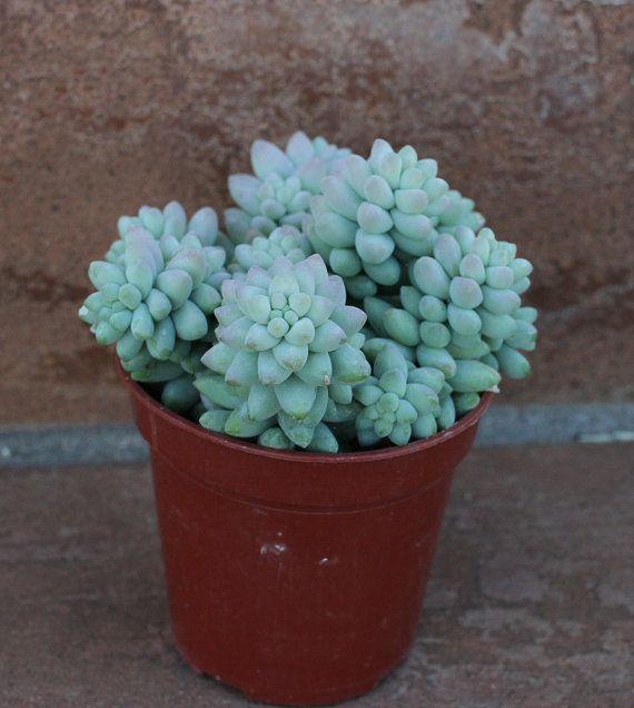 1 Succulent Plants  Sedum Donkey  Tail 'Burrito' by SucculentOasis, $6.00