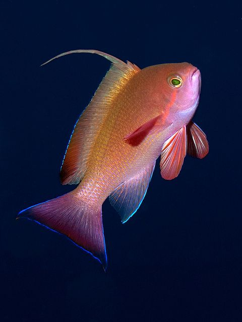 ✿ Sea Goldie ~ Pseudanthias Squamipinnis ~The sea goldie is found in the western Indian Ocean including the Red Sea, and in the Pacific Ocean as far east as Japan and southeast Australia. Like other anthias (Anthiinae) the sea goldie is a protogynous hermaphrodite; a male retains a harem of 5-10 females, but when the male dies one of the females will undergo sex reversal and take the place of the missing male. ✿