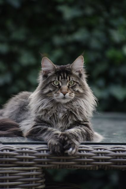 Maine Coon Cats; probably one of the only cats I'd ever consider having...love how big they get.