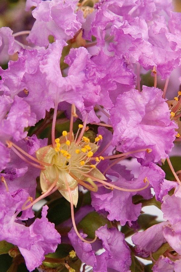 Buy Southern Living Early Bird Lavender Crape Myrtle Bush Tree
