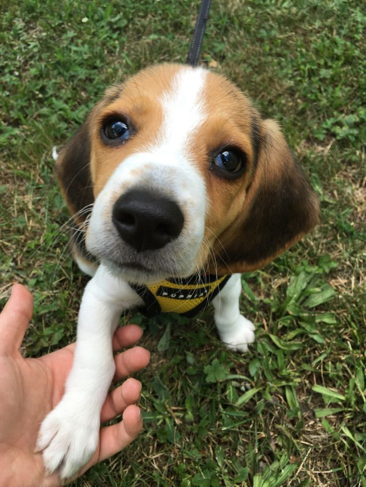 Loves to give paw for treats! : beagle