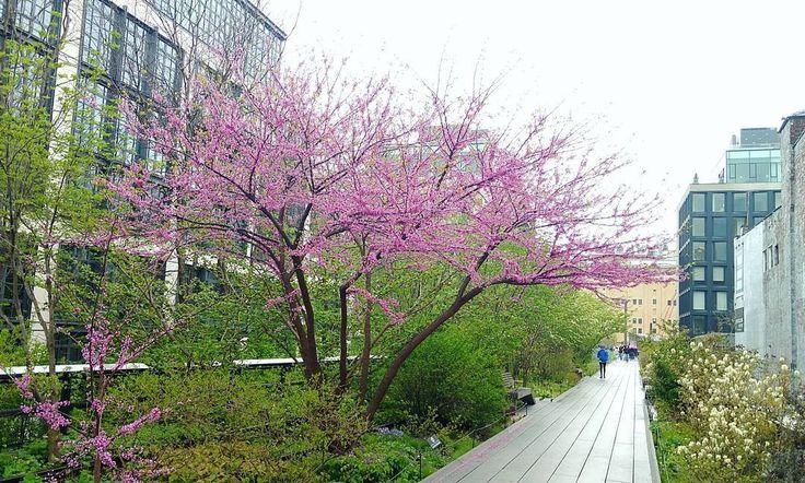 #HighLinePark #flowers #spring #inbloom #park #outdoors #Chelsea #Manhattan #NewYorkCity #rainyday #flora #NYC