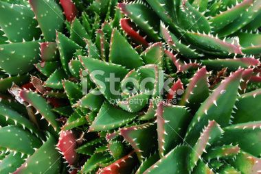 Aloe Aristata Cactus Background Royalty Free Stock Photo