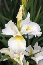Iris sibirica Snow Queen At/Co. Kaunis valkoinen siperiankurjenmiekka, joka on saanut nimensä lumenvalkoisten kukkiensa mukaan. Ne kehittyvät runsaslukuisina korkeisiin kukkavarsiin ja valaisevat puolivarjon istutusryhmät hienosti. Helppohoitoinen ja kestävä, sopii tuoreeseen maahan sekä perennapenkkiin sekä vesiaiheiden läheisyyteen. Korkeus 80-90 cm. - Kauppilasta.