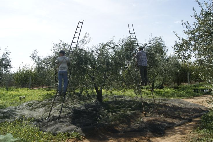 Recolectado a mano las Aceitunas Ecologicas. Hand picked the green olives. #Tartessus #AOVE #EVOO