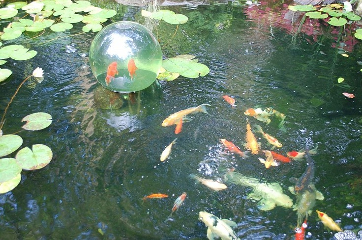 1000 images about gold fish in my backyard pond on for Cool fish ponds