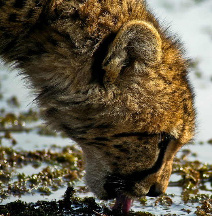 Young Cheetah drinking at waterhole in Nambiti Hills