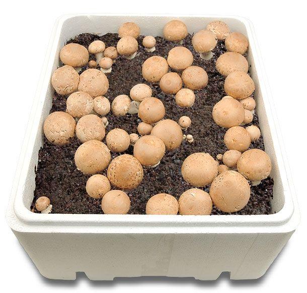 best 25+ culture champignon ideas on pinterest | potager