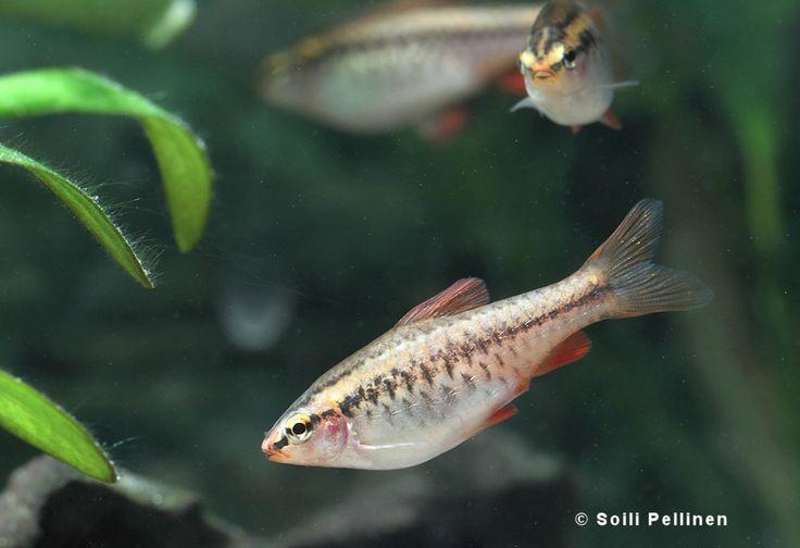 Akvaariokalat - Kirsikkabarbeja (Puntius titteya) - Luontokuvat