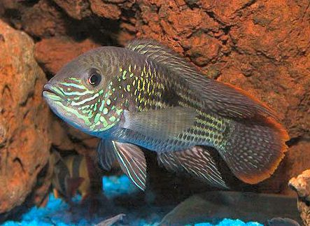 20 best images about green terror on pinterest for California freshwater fish