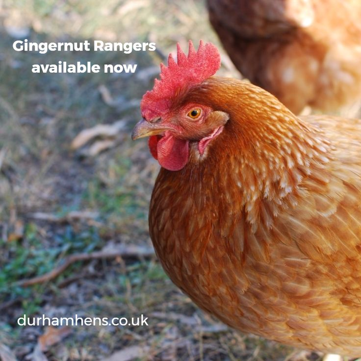 Gingernut Rangers in stock at point of lay. Fab layers and pet #hens: www.durhamhens.co.uk #SBS #QueenOf #poultry