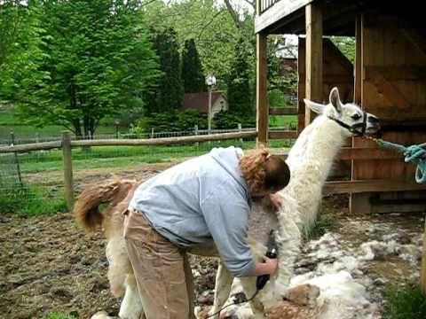 ▶ Llama Shearing Demo - YouTube