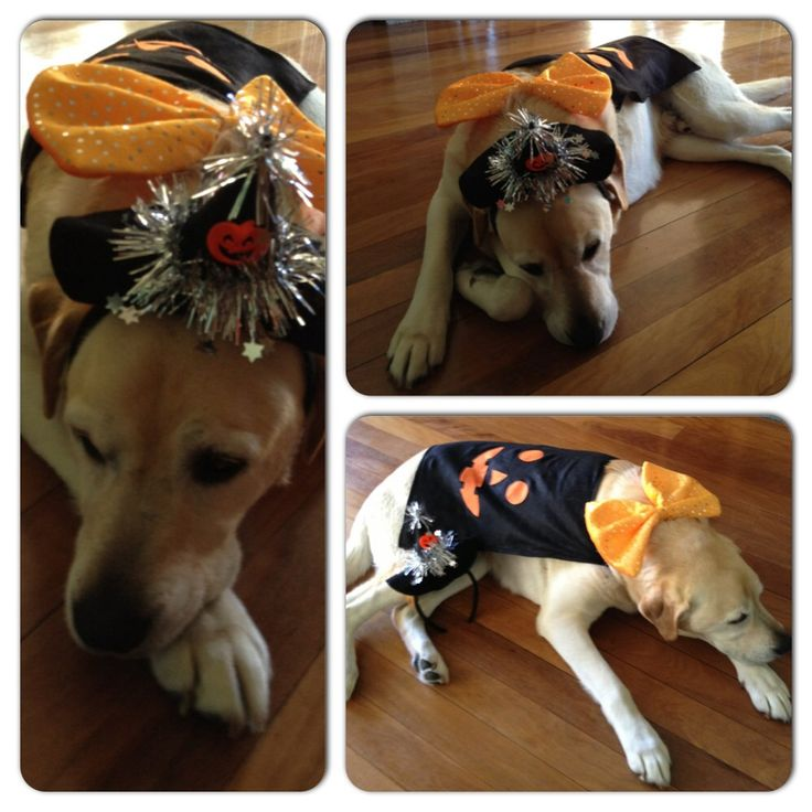 Our adorable k9 Kiko looked very cute in his Halloween costume. Woof!  #PETstockHowlOween