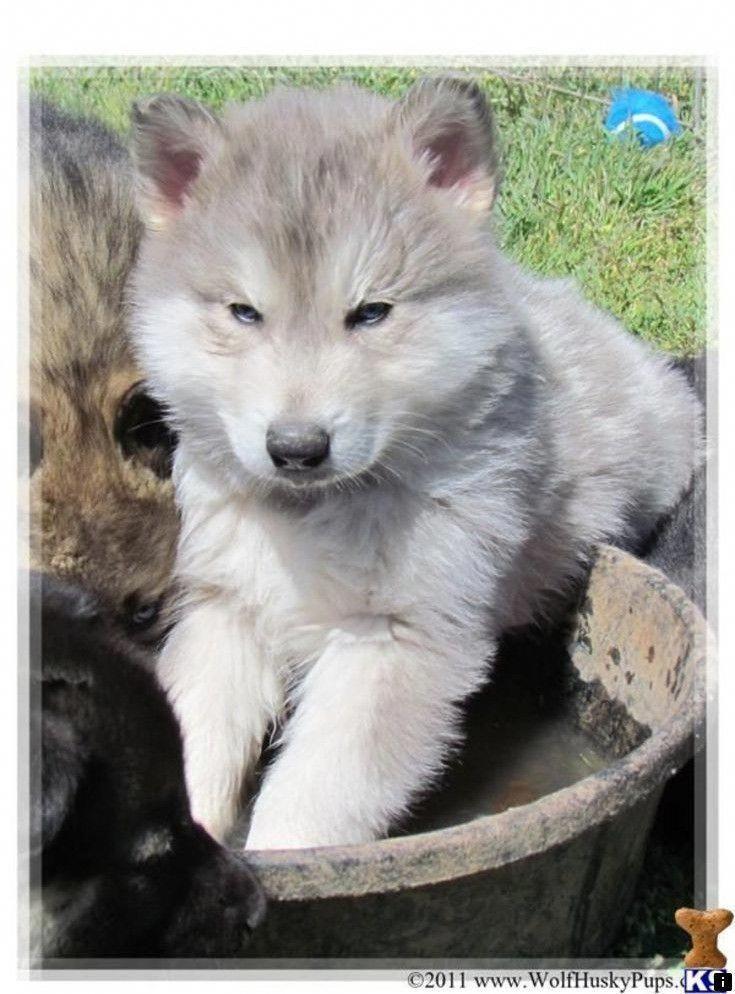 Siberian Husky Tips Wolf Dog Puppy Wolf Dog Wolf Hybrid Dogs