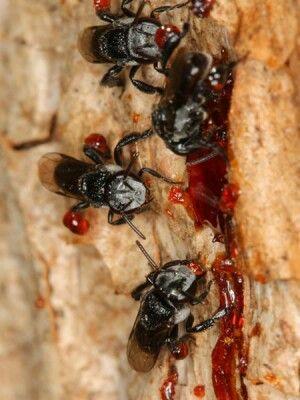 Australian stingless bees