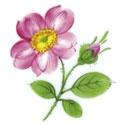 Wr. Bl. Heckenrose Purpur
