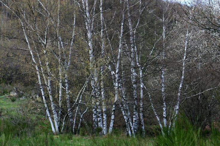 Photo of Betula pendula White Multi Trunks Trees Clump in Spring